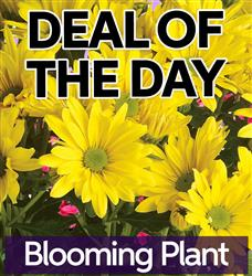 Blooming Plant (BP-DEAL1)