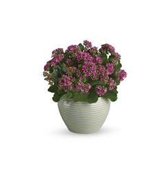 Bountiful Kalanchoe (T91-2A)
