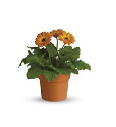 Rainbow Rays Potted Gerbera - Orange (T95-3A)