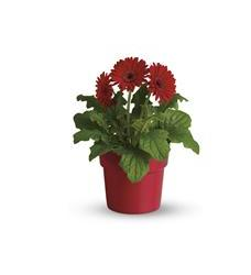 Rainbow Rays Potted Gerbera - Red (T95-5A)