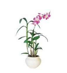 Dendrobium Orchid (TF140-1)