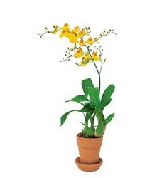 Yellow Oncidium Orchid (TF140-2)