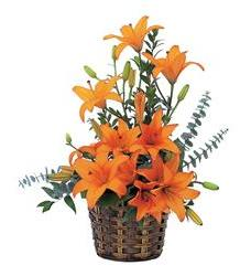Asiatic Lilies (TF20-3)
