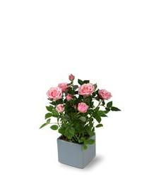Miniature Rose Bush (TFWEB156)