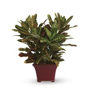 Stately Croton (T106-2A)